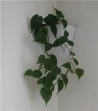 Вьющиеся растения комнатные